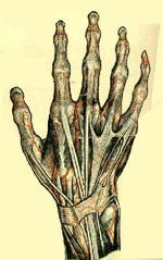 hand-anatomy